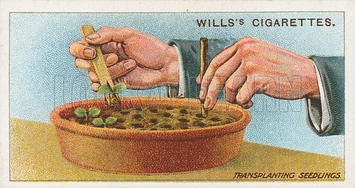 Transplanting Seedlings. Illustration for early 20th century cigarette card.