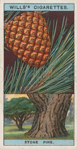 Stone Pine. Illustration for early 20th century cigarette card.