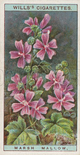 Marsh Mallow. Illustration for early 20th century cigarette card.