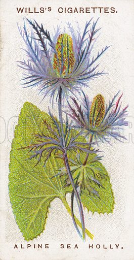 Alpine Sea Holly. Illustration for early 20th century cigarette card.