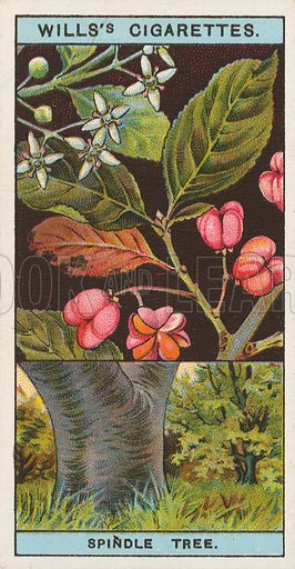 Spindle Tree. Illustration for early 20th century cigarette card.