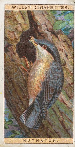Nuthatch. Illustration for early 20th century cigarette card.
