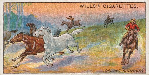 "Driving ""Brumbies."" Illustration for early 20th century cigarette card."