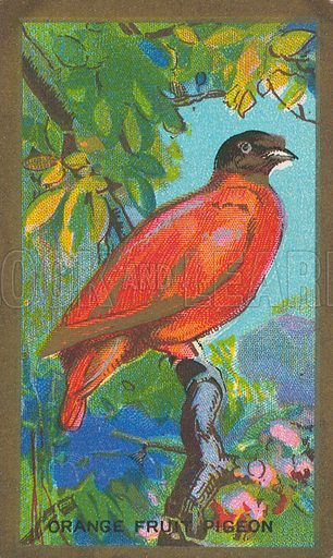 Orange Fruit Pigeon. Illustration for early 20th century cigarette card.