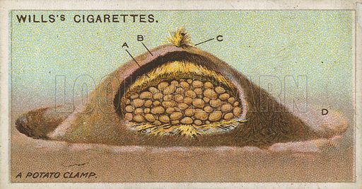 A Potato Clamp. Illustration for early 20th century cigarette card.
