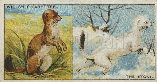 The Stoat. Illustration for early 20th century cigarette card.