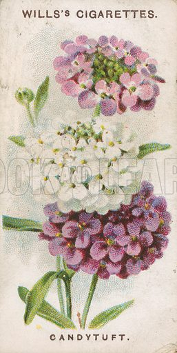 Candytuft. Illustration for early 20th century cigarette card.