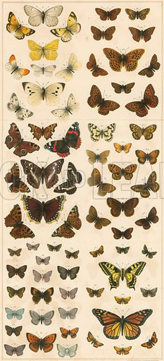 Our British Butterflies. Illustration for The Boy's Own Annual (1896).