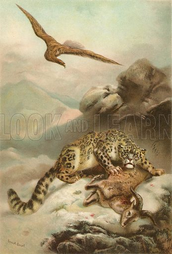 The Snow Leopard and the Eagle. Illustration for The Boy's Own Annual (1897).