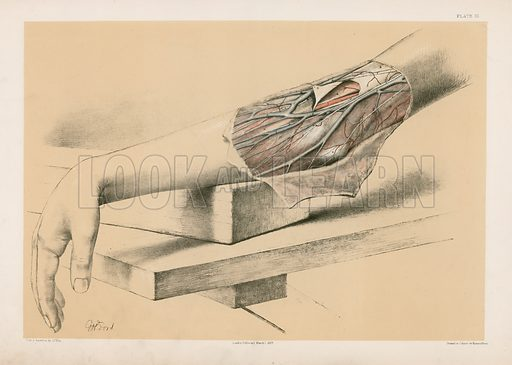 The Upper Limb. Superficial Veins and Nerves in front of the Bend of the Elbow. Illustration for Illustrations of Dissections by George Viner Ellis and GH Ford (c 1870).