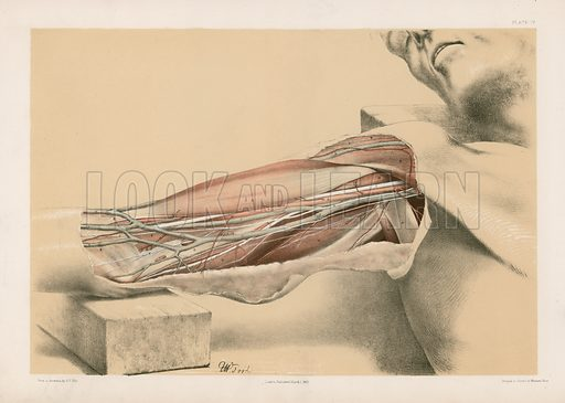 The Upper Limb. Superficial View of the Arm on the Inner Side, with the Parts Undisturbed. Illustration for Illustrations of Dissections by George Viner Ellis and GH Ford (c 1870).