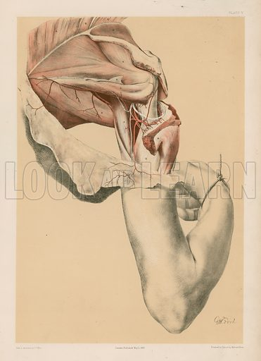 The Upper Limb. The Shoulder, and the Muscles at the back of the Scapula. Illustration for Illustrations of Dissections by George Viner Ellis and G H Ford (c 1870).