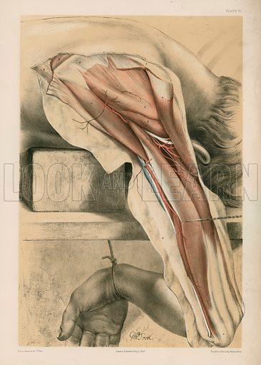 The Upper Limb. The Triceps Muscle behind the Humerus, and Some Shoulder Muscles. Illustration for Illustrations of Dissections by George Viner Ellis and GH Ford (c 1870).