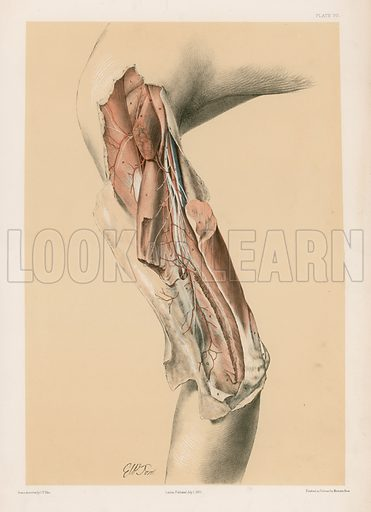 The Upper Limb. The Musculo-Spiral Nerve in the Arm, and the Profunda Vessels. Illustration for Illustrations of Dissections by George Viner Ellis and G H Ford (c 1870).