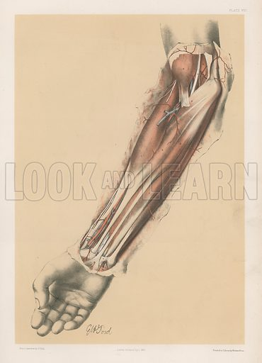 The Upper Limb. Surface View of the Forearm, with the Parts Undisturbed. Illustration for Illustrations of Dissections by George Viner Ellis and GH Ford (c 1870).