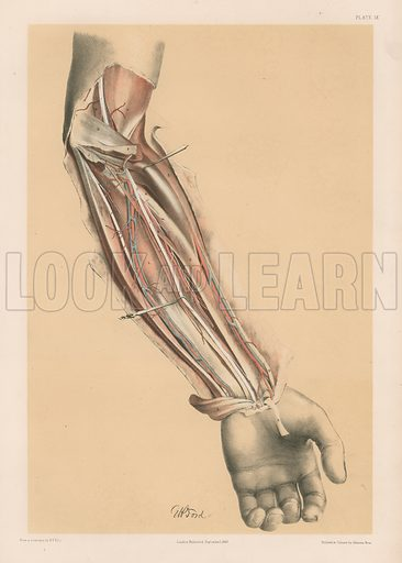 The Upper Limb. Deep View of the Front of the Forearm. Illustration for Illustrations of Dissections by George Viner Ellis and G H Ford (c 1870).