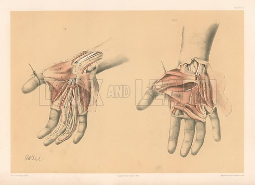 The Upper Limb. Superficial and Deep Views of the Palm of the Hand. Illustration for Illustrations of Dissections by George Viner Ellis and G H Ford (c 1870).