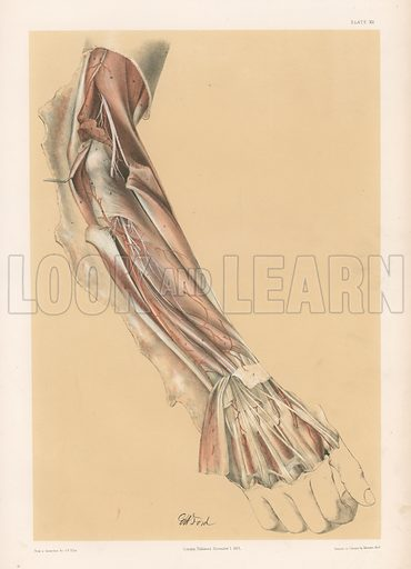 The Upper Limb. Deep View of the Back of the Forearm. Illustration for Illustrations of Dissections by George Viner Ellis and G H Ford (c 1870).