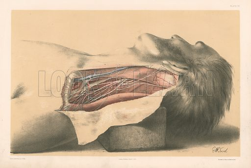 The Head and Neck. The Anatomy of the Side of the Neck behind the Sterno-Mastoid Muscle. Illustration for Illustrations of Dissections by George Viner Ellis and G H Ford (c 1870).