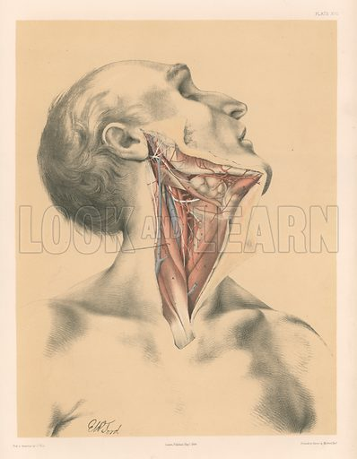 The Head and Neck. View of the front of the Neck after Displacement of the Sterno-Mastoideus. Illustration for Illustrations of Dissections by George Viner Ellis and GH Ford (c 1870).
