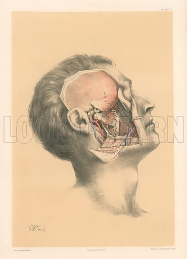 The Head and Neck. Superficial View of the Pterygoid Region. Illustration for Illustrations of Dissections by George Viner Ellis and G H Ford (c 1870).