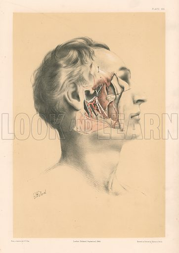 The Head and Neck. Deep View of the Dissection of the Pterygoid Region. Illustration for Illustrations of Dissections by George Viner Ellis and GH Ford (c 1870).