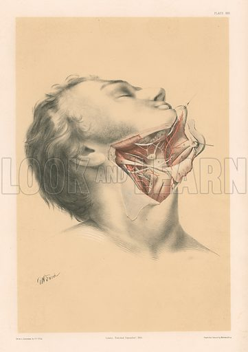 The Head and Neck. The Anatomy of the Submaxillary Region. Illustration for Illustrations of Dissections by George Viner Ellis and GH Ford (c 1870).