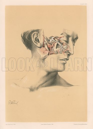 The Head and Neck. Upper Maxillary Nerve, and Deep Part of the Internal Maxillary Artery. Illustration for Illustrations of Dissections by George Viner Ellis and GH Ford (c 1870).