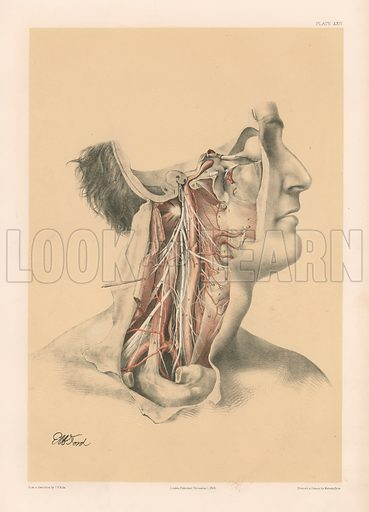 The Head and Neck. Internal Carotid and Ascending Pharyngeal Arteries, and Cranial Nerves in the Neck. Illustration for Illustrations of Dissections by George Viner Ellis and GH Ford (c 1870).