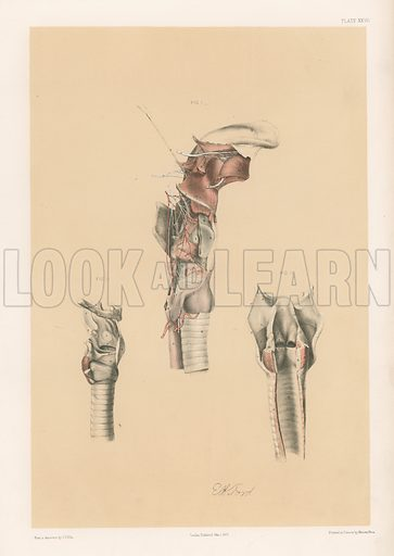 The Head and Neck. Larynx and Vocal Apparatus, with the Muscles, Vessels, and Nerves. Illustration for Illustrations of Dissections by George Viner Ellis and GH Ford (c 1870).