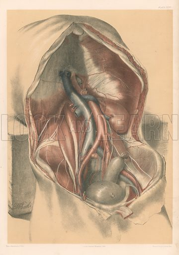 The Abdominal Parietes. Deep Muscles of the Abdominal Parietes, and Vessels of the Abdominal Cavity. Illustration for Illustrations of Dissections by George Viner Ellis and GH Ford (c 1870).