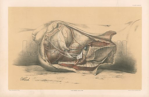 The Pelvis. First Side View of the Male Pelvis, with the Muscles Bounding it below. Illustration for Illustrations of Dissections by George Viner Ellis and GH Ford (c 1870).