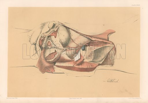 The Pelvis. Second View of the Male Pelvis showing the Fascia in the Interior. Illustration for Illustrations of Dissections by George Viner Ellis and GH Ford (c 1870).