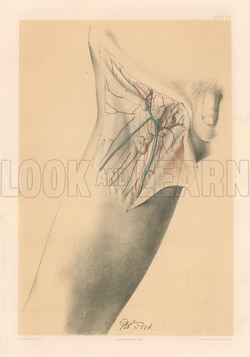 The Lower Limb. The Superficial Parts of the Groin, and the Fascia Lata at the top of the Thigh. Illustration for Illustrations of Dissections by George Viner Ellis and G H Ford (c 1870).