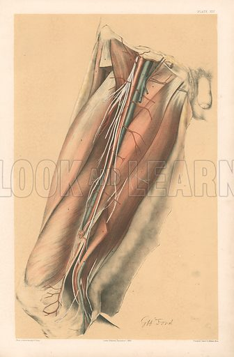 The Lower Limb Anatomy Of The Femoral Vessels And The Anterior