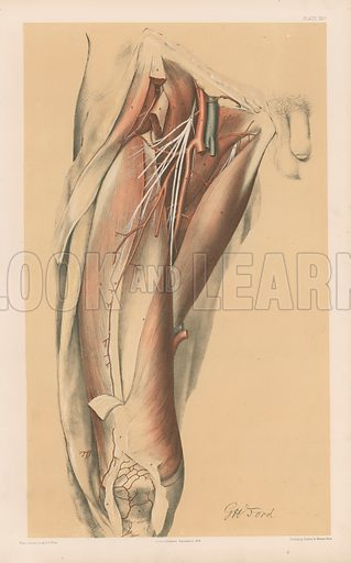 The Lower Limb. Deep View of the Fore and Outer Parts of the Thigh. Illustration for Illustrations of Dissections by George Viner Ellis and GH Ford (c 1870).