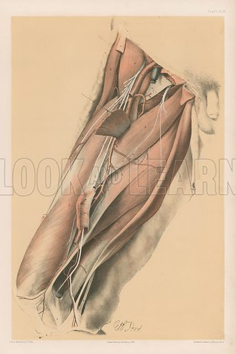 The Lower Limb. Muscles Inside the Femur with their Vessels and Nerves. Illustration for Illustrations of Dissections by George Viner Ellis and G H Ford (c 1870).