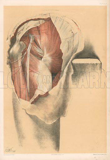 The Lower Limb. Second Stage in the Dissection of the Buttock. Illustration for Illustrations of Dissections by George Viner Ellis and GH Ford (c 1870).