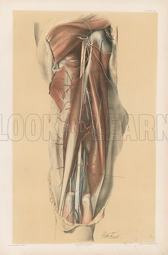 The Lower Limb. A Representation of the Back of the Thigh. Illustration for Illustrations of Dissections by George Viner Ellis and GH Ford (c 1870).