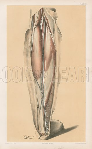 The Lower Limb. View of the Ham Undisturbed, and the First Stage of the Back of the Leg. Illustration for Illustrations of Dissections by George Viner Ellis and GH Ford (c 1870).