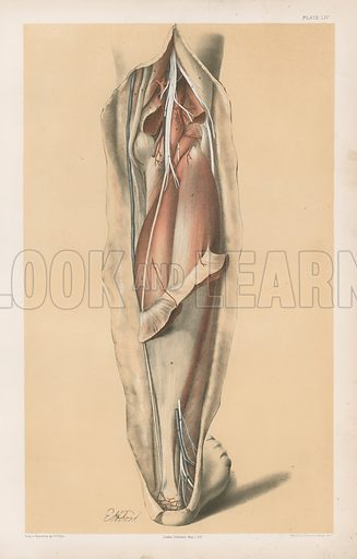 The Lower Limb. Deep Muscles of the Calf, and the Popliteal Vessels and Nerves. Illustration for Illustrations of Dissections by George Viner Ellis and GH Ford (c 1870).