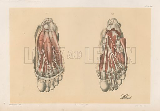 The Lower Limb. First and Second Stages in the Examination of the Sole of the Foot. Illustration for Illustrations of Dissections by George Viner Ellis and G H Ford (c 1870).