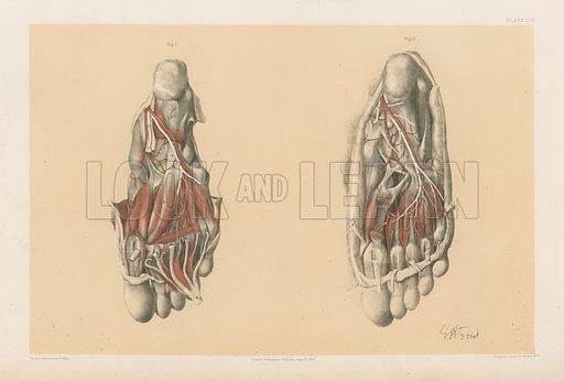The Lower Limb. Third and Fourth Stages of the Dissection of the Sole of the Foot. Illustration for Illustrations of Dissections by George Viner Ellis and G H Ford (c 1870).