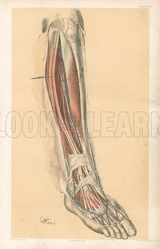 The Lower Limb. Front of the Leg and Dorsum of the Foot. Illustration for Illustrations of Dissections by George Viner Ellis and GH Ford (c 1870).
