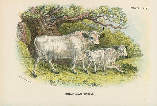 Chillingham Cattle. Illustration for A Handbook to the British Mammalia by Richard Lydekker (Edward Lloyd, 1896).