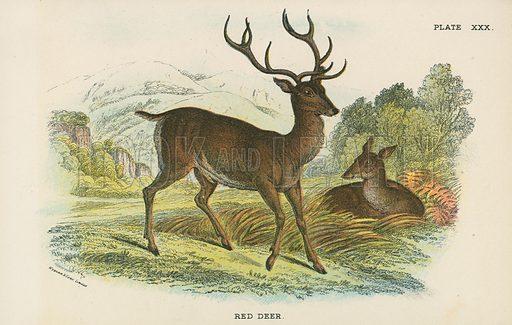 Red Deer. Illustration for A Handbook to the British Mammalia by Richard Lydekker (Edward Lloyd, 1896).