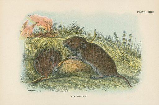 Field-Vole. Illustration for A Handbook to the British Mammalia by Richard Lydekker (Edward Lloyd, 1896).