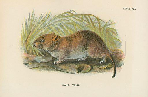 Bank Vole. Illustration for A Handbook to the British Mammalia by Richard Lydekker (Edward Lloyd, 1896).