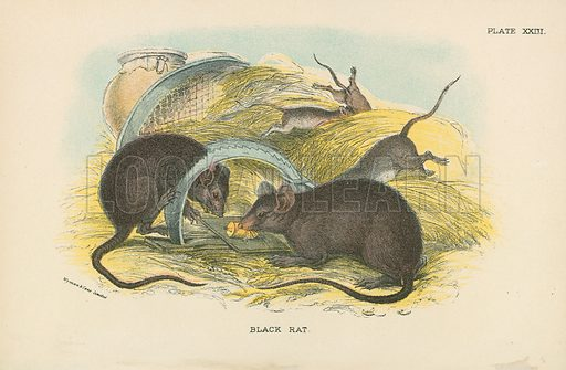 Black Rat. Illustration for A Handbook to the British Mammalia by Richard Lydekker (Edward Lloyd, 1896).