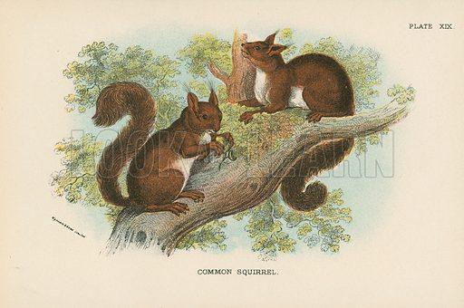 Common Squirrel. Illustration for A Handbook to the British Mammalia by Richard Lydekker (Edward Lloyd, 1896).